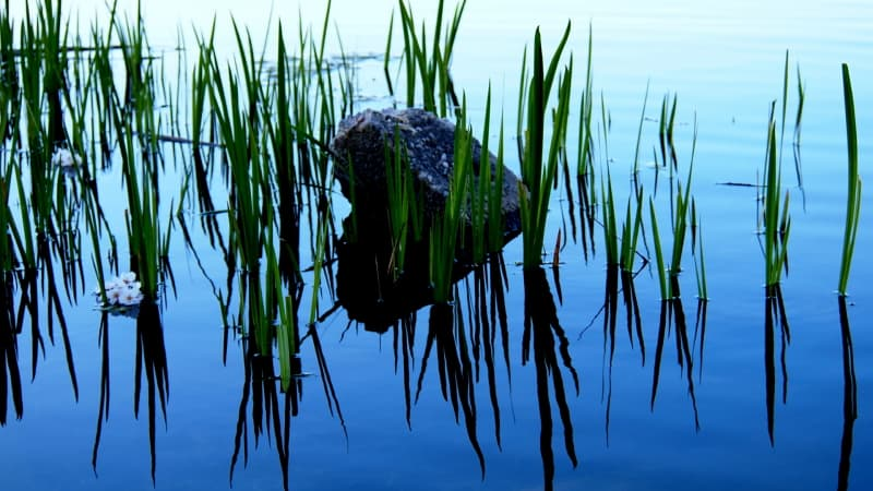 rock in water with reeds
